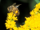 goldenrod with bee
